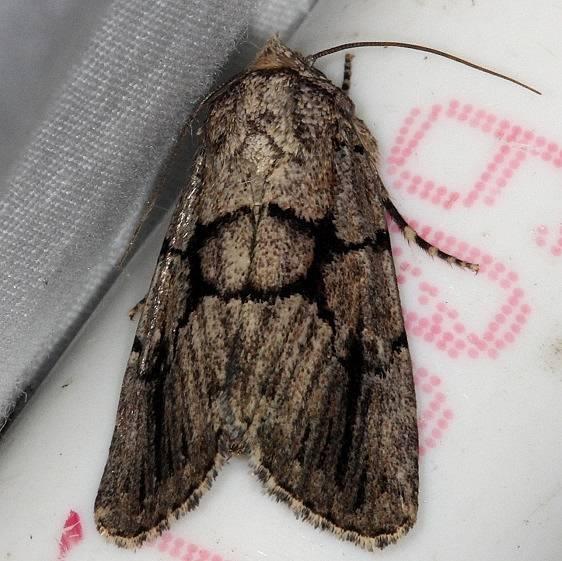 10066.1 Broad-lined Sallow Moth Burr Oak St Pk Oh 6-27-14