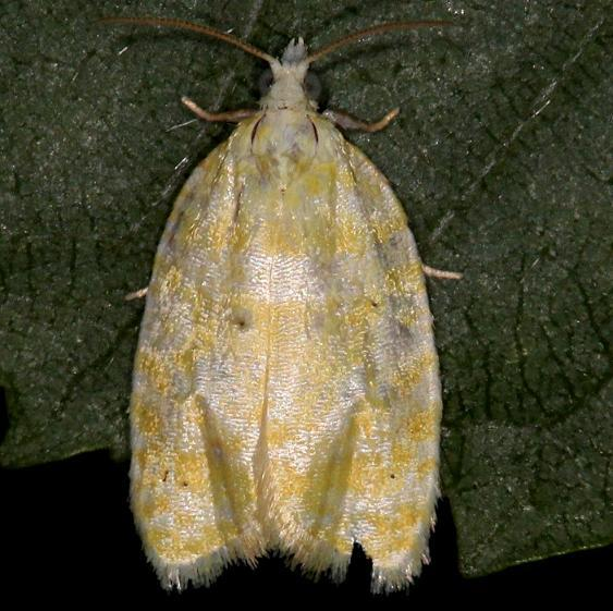 3503 Oak Leaftier Moth yard 6-2-13