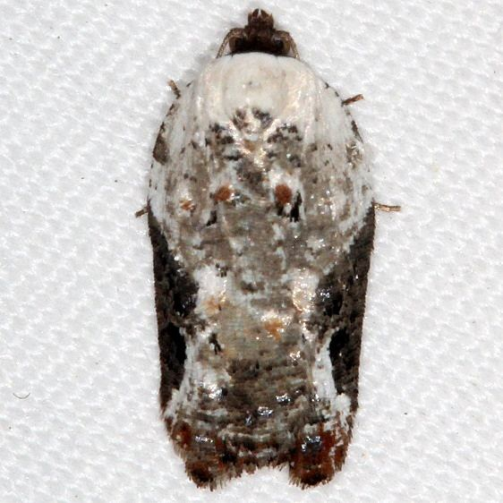 3510 Snowy-shouldered Acleris Moth yarda 5-8-16_opt