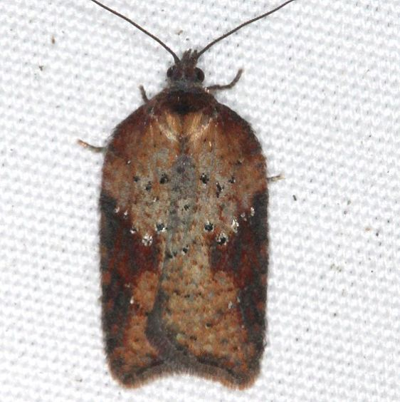 3527 Schaller's Acleris Moth yard 11-4-15 (7)_opt