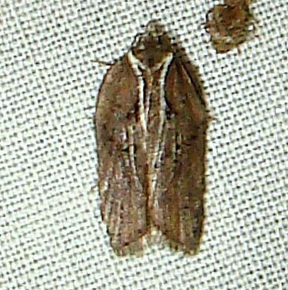 3531 Acleris hastiana variation yard 5-11-11_opt