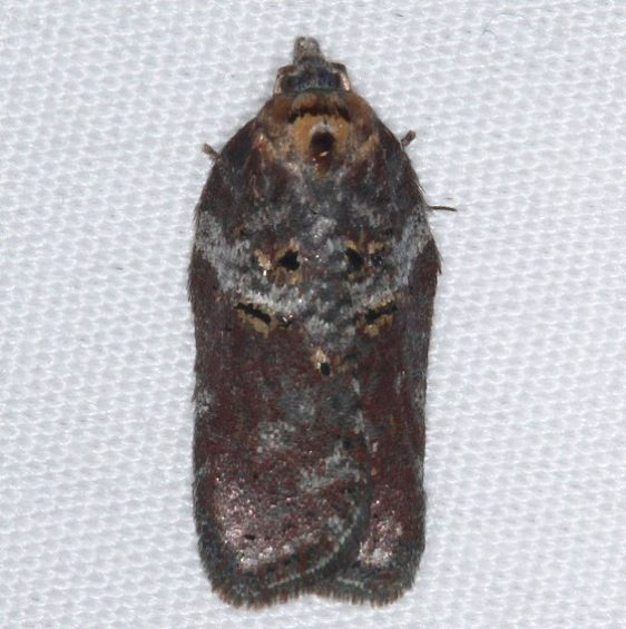3533 Acleris celiana Thunder Lake UP Mich 9-25-15