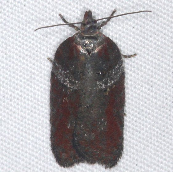 3533 Acleris celiana Thunder Lake UP Mich 9-27-15