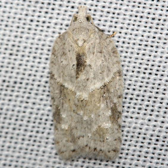 3540 Black-headed Birch Leaffolder Moth Thunder Lake UP Mich 9-29-12