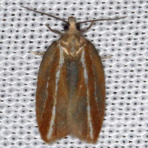 3548 Eastern Black-headed Budworm Moth Thunder Lake UP Mich 9-27-13