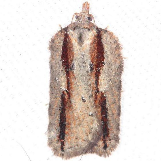 3550 Acleris youngana yard 4-10-13