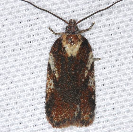 3552 Gray Rough-wing Moth Thunder Lake UP Mich 9-27-13