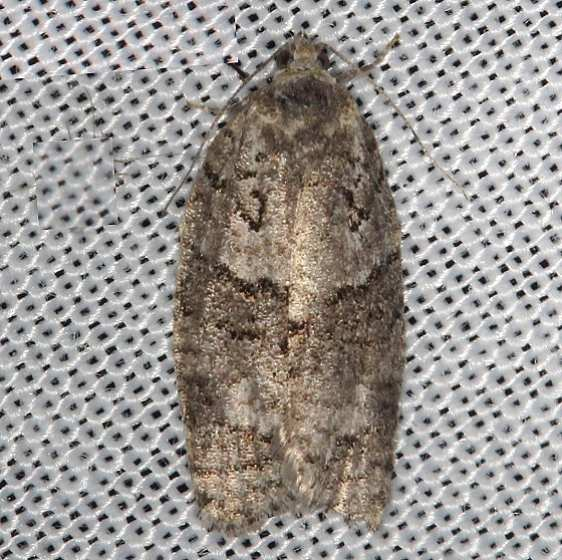 3572 Gray Leafroller Moth Thunder Lake Mich UP 6-24-13