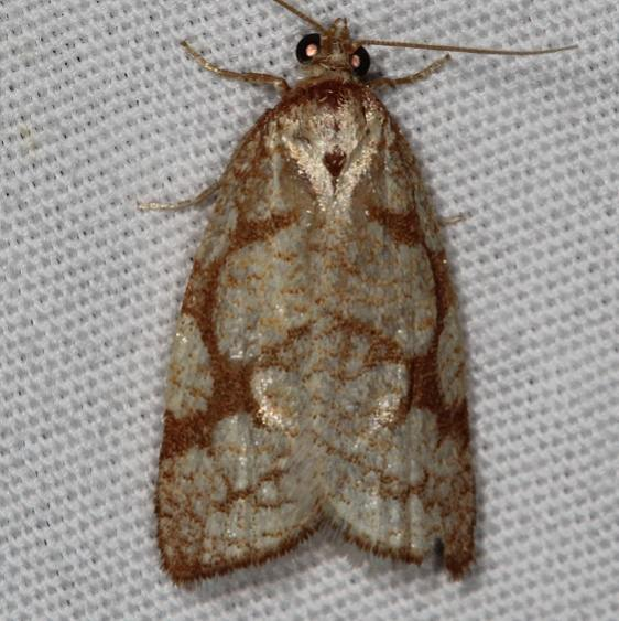 3581 Dorithia semicirculana Mesa Verde National Pk Colorado 6-9-17 (45)_opt