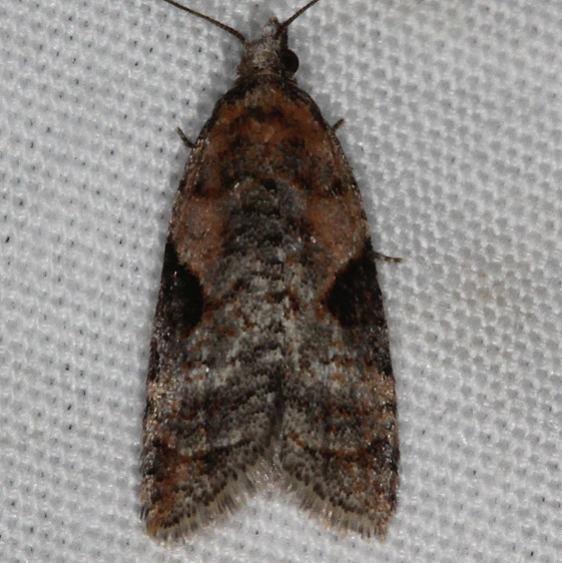 3583 Anopina triangulana Mesa Verde National Pk Colorado 6-9-17 (19)_opt