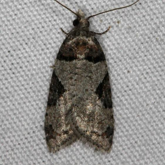 3584 Anopina adnana Mesa Verde National Pk Colorado 6-9-17 (4)_opt