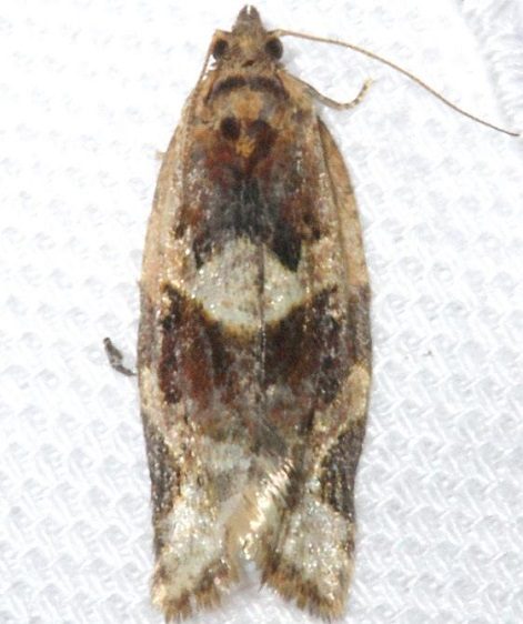 3597 Red-banded Leafroller Moth yard 4-3-12