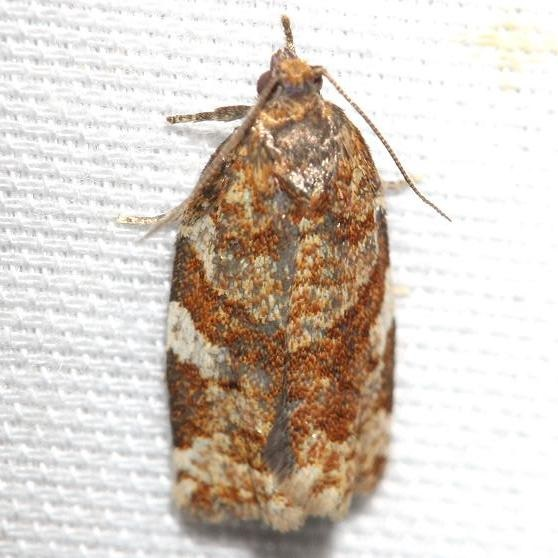 3602 Pine Tube Moth Thunder Lake UP Mich 6-24-12