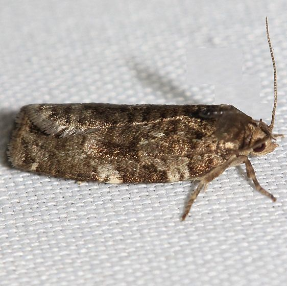 3603 Jack Pine Tube Moth Thunder Lake UP Mich 6-26-12