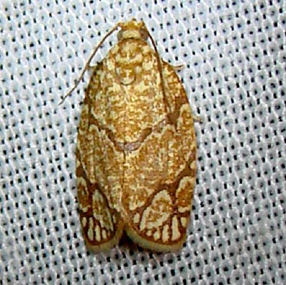 3623 Yellow-winged Oak Leafroller Moth Payne's Prairie St Pk 3-23-12
