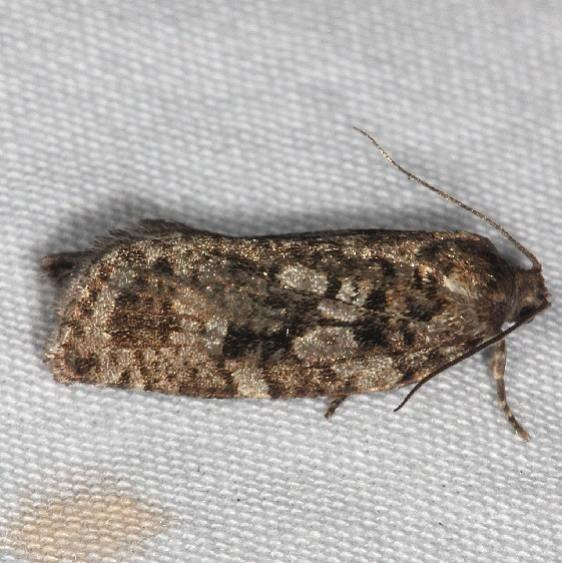 3638 Spruce Budworm Moth Thunder Lake Up Mich 6-22-14