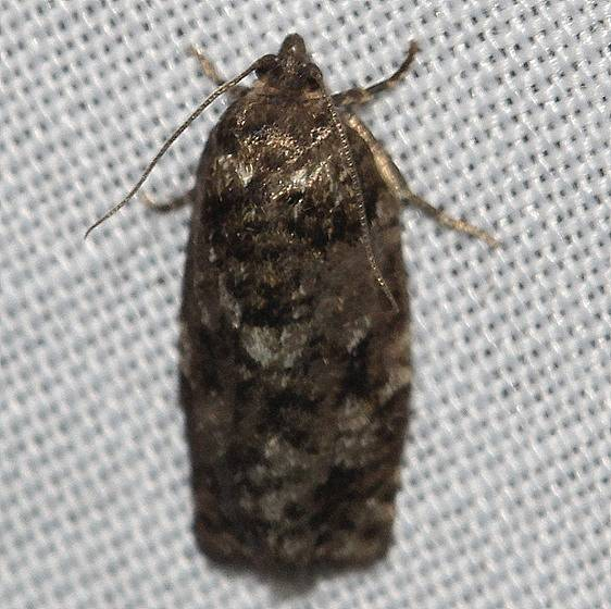 3643 Jackpine Budworm Moth Thunder Lake UP Mich 6-23-12