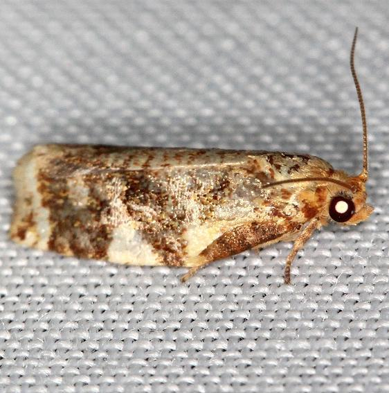 3648 Fruit-tree Leaffolder Moth yard 6-2-13