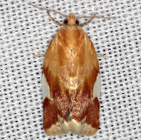 3682 White-triangle Clepsis Thunder Lake Mich UP 6-22-13