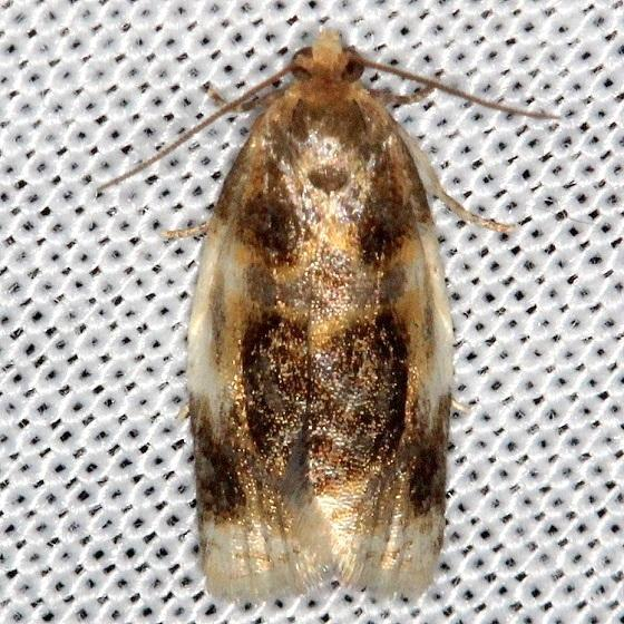 3686 Black Clepsis Moth Thunder Lake Mich UP 6-22-13