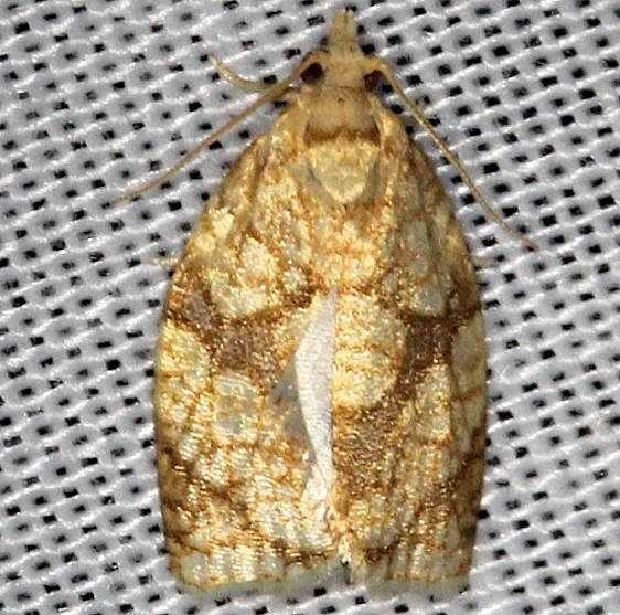 3695 Sparganothis Fruitworm MothBattelle Darby Pk Ancient Trail Oh 7-25-13