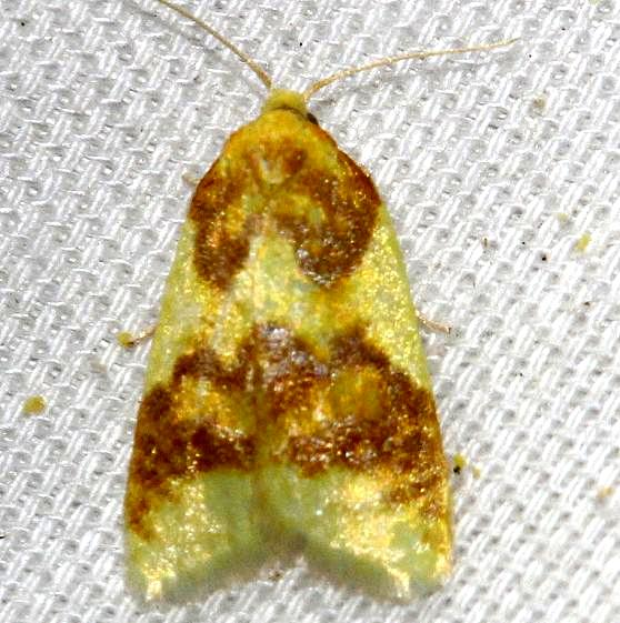 3701 Beautiful Sparganothis Moth yard 5-20-12