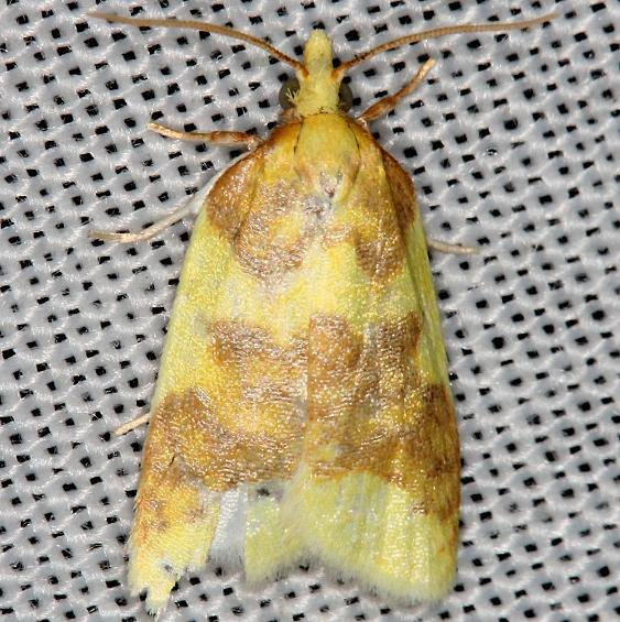 3701 Beautiful Ssparganothis Moth yard 5-31-13
