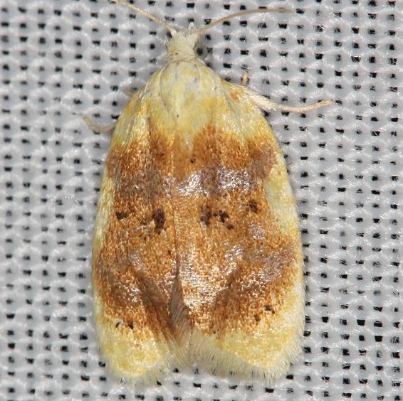 3727 Aproned Cenopis Moth yard 6-5-13