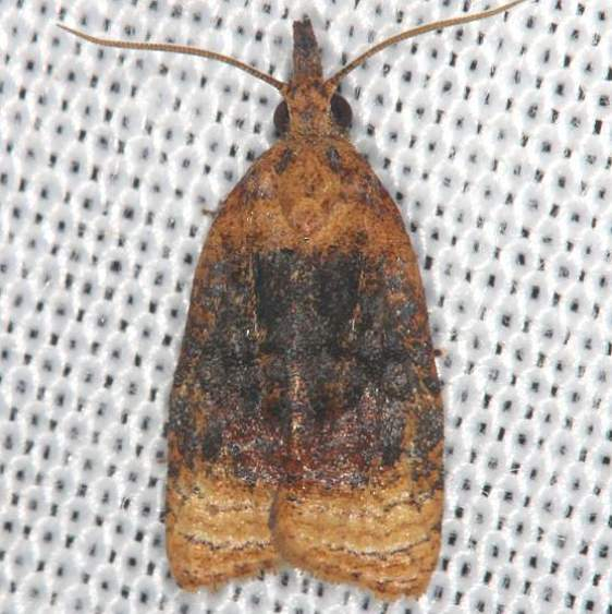 3732 Black-shaded Platynota Moth yard 7-23-13_opt
