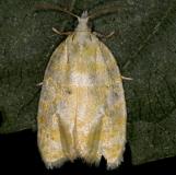 3503 Oak Leaftier Moth yard 6-2-13