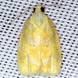 3503 Oak Leaftier Moth Shawnee St Pk Oh 6-14-13