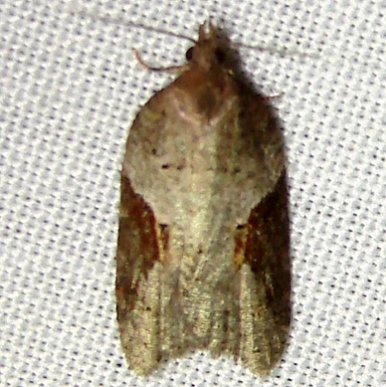 3506 Acleris macdunnoughi Thunder Lake UP Mich 10-3-11