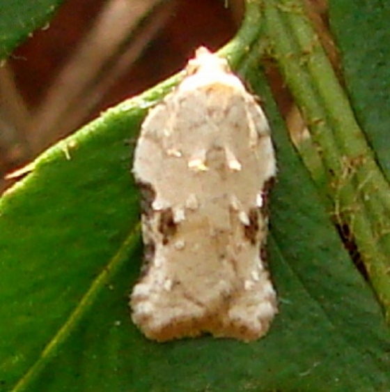 3517 Acleris subnivana Clearcreek Metro Cemetary Ridge Trail Oh 10-27-14