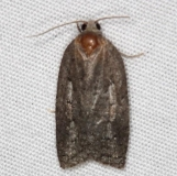 3520 Small Aspen Leaftier Moth Thunder Lake Up Mich 6-22-14