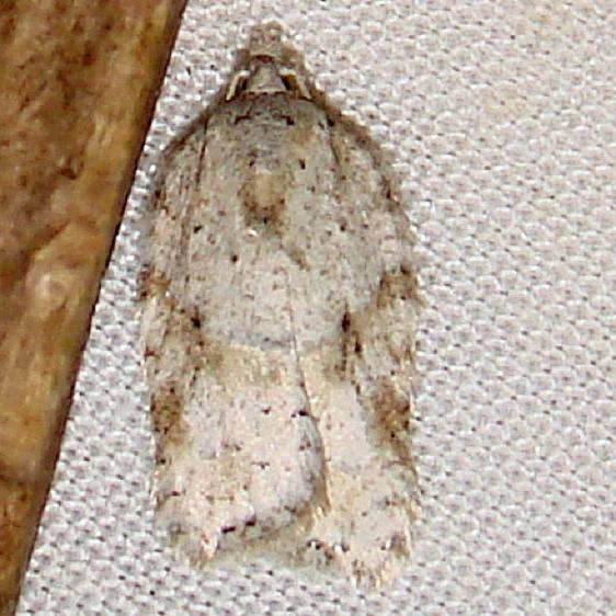 3523 Acleris cornana Thunder Lake UP Mich 10-2-11