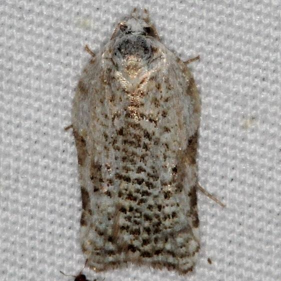 3526 Speckled Acleris Moth yard 5-9-15