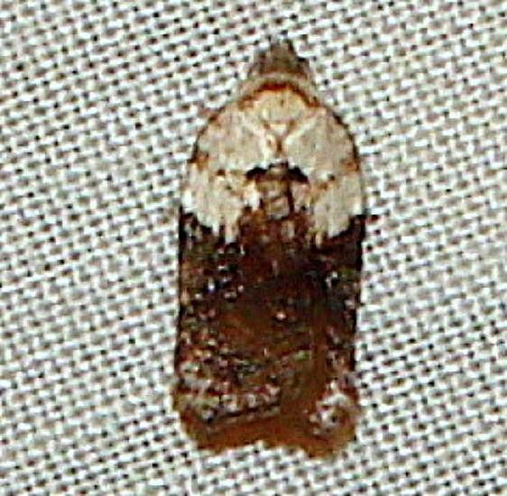 3532 Acleris fragariana Thunder Lake UP Mich 10-2-11