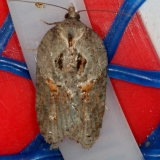 3543 Stained-back Leafroller Moth Thunder Lake UP Mich 9-28-14