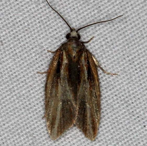 3548 Eastern Black-headed Budworm Moth Thunder Lake UP Mich 9-30-14