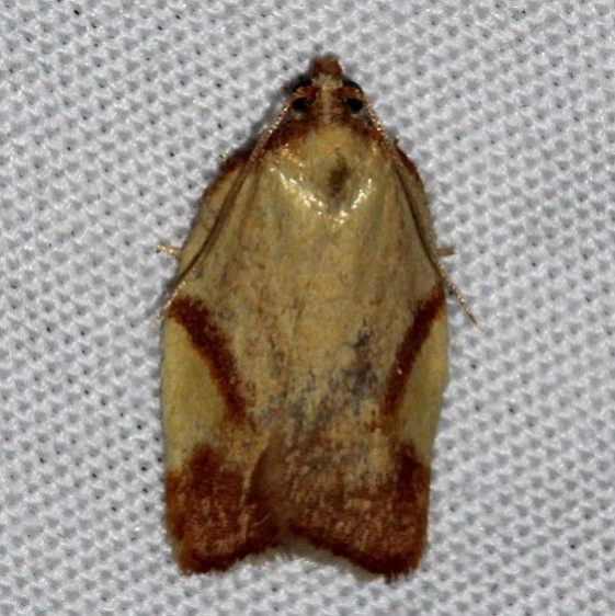 3560 Acleris foliana Colorado Natl Monument 6-18-17 (169)_opt