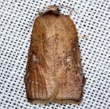 3563.97 Unidentified Acleris Moth Pine Glade Lake Everglades 2-21-14