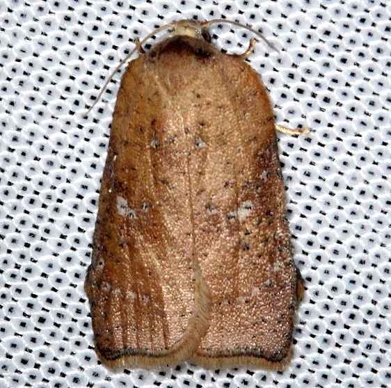 3563.97 Unidentified Acleris Moth Pine Glade Lake Everglades 2-21-14