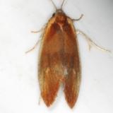 3565 Frruginous Eulia Moth Thunder Lake UP Mich 6-20-15