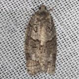 3572 Gray Leafroller Moth Thunder Lake Mich UP 6-24-13