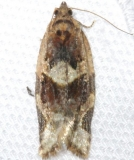 3597 Red-banded Leafroller Moth yard 4-3-12