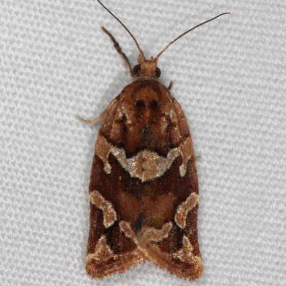 3598.1 Argyrotaenia hodgesi Faver-Dykes St Pk Fl 2-22-15