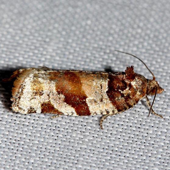3600 Kimball's Leafroller Moth Ochlockonee River St Pk Fl 3-28-13