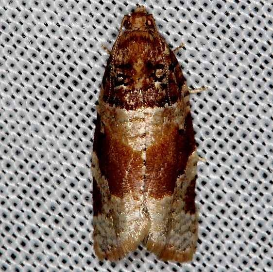 3600 Kimball's Leafroller Moth Tosohatchee WMA Fl 2-11-14