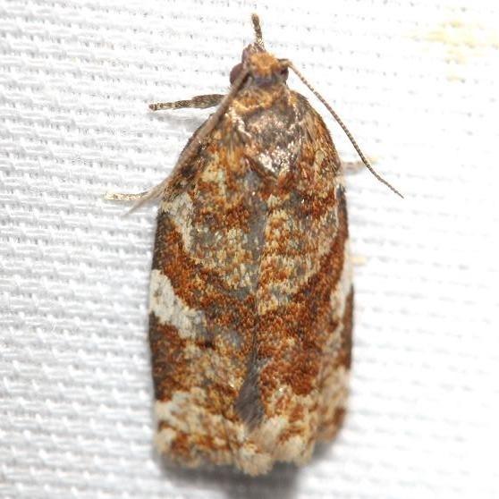 3602 Pine Tube Moth Thunder Lake UP Mich 6-24-12