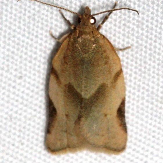 3618 Argyrotaenia dorsalana Colorado Natl Monument 6-16-17 (174)_opt